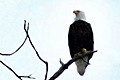 hcl_column_crothers_angela_nature_in_the_little_finger_lakes_2015_03_nesting_time_for_eagles_120x80