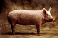 hcl_farm_and_garden_animal_pig_swine_for_profit_120x80