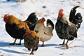 hcl_farm_and_garden_bird_chicken_feeding_poultry_in_winter_120x80