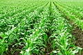 hcl_farm_and_garden_vegetable_corn_corn_and_its_cultivation_120x80