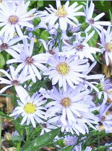hcl_flower_aster_smooth_symphyotrichum_laeve