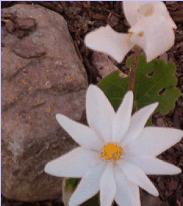 hcl_flower_blood_root_sanguinaria_canadensis