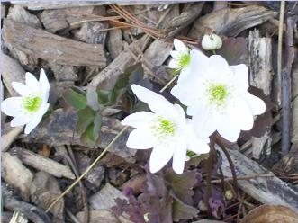 hcl_flower_rue_anemone_anemonella_thalictroides