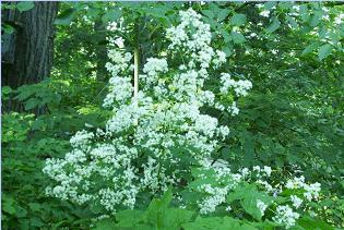 hcl_flower_rue_tall_meadow_thalictrum_pubscens