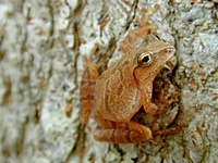 hcl_news_article_1990_03_hyla_frog_by_unknown_for_canadice_chronicle_resize200x150